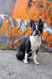 Boston Terrier and Graffiti 2. A Boston Terrier sits in front of a graffiti wall on a street corner Royalty Free Stock Photos