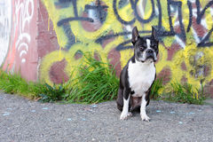 Boston Terrier and Graffiti. A Boston Terrier sits in front of a graffiti wall on a street corner Royalty Free Stock Photos