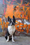 Boston Terrier and Graffiti. A Boston Terrier sits in front of a graffiti wall Royalty Free Stock Images