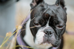 Boston Terrier in the Grass Stock Images