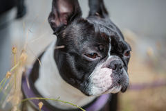 Boston Terrier in the Grass Royalty Free Stock Photography
