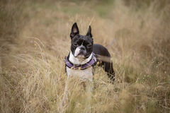 Boston Terrier in the Grass Royalty Free Stock Image