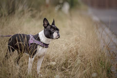 Boston Terrier in the Grass Royalty Free Stock Photo