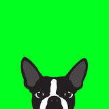 Boston Terrier with green background Stock Image