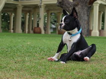 Boston Terrier. A boston terrier on the green grass Stock Images