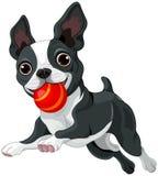 Boston Terrier hält Ball Stockfoto