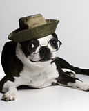 Boston Terrier in hat and glasses Royalty Free Stock Images