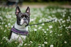 Boston Terrier in het Park in de Lente stock foto's