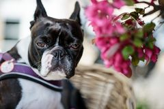 Boston Terrier in het Park in de Lente royalty-vrije stock afbeelding