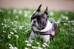 Boston Terrier in het Park in de Lente royalty-vrije stock afbeeldingen