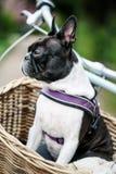 Boston Terrier in het Park in de Lente stock afbeeldingen