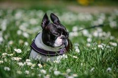 Boston Terrier in het Park in de Lente stock foto