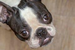 Boston-Terrier-Hund, der oben schaut stockbild