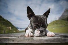 Boston Terrier i de österrikiska fjällängarna royaltyfria foton