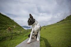 Boston Terrier i de österrikiska fjällängarna fotografering för bildbyråer