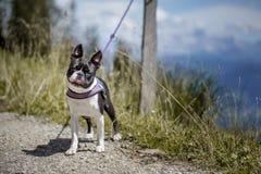 Boston Terrier i de österrikiska fjällängarna royaltyfri foto