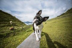 Boston Terrier i de österrikiska fjällängarna arkivbild