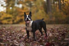 Boston terrier i höstsidor royaltyfri foto