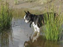 Boston-Terrier im Teich Stockfotos
