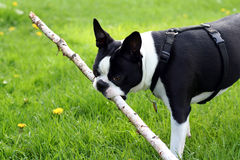 Boston Terrier with Large Stick. A Boston Terrier carrying around a large stick Stock Image
