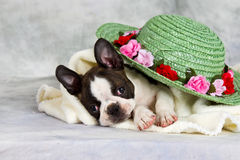 Boston terrier lay with flower hat Royalty Free Stock Images