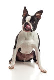 Boston Terrier Licking. A portrait of a male Boston Terrier licking his mouth in front of a white backdrop Royalty Free Stock Photo