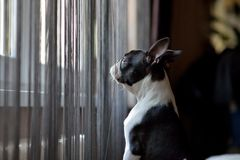 Boston terrier looking outside Royalty Free Stock Images