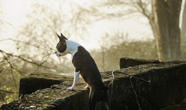 Boston Terrier looking over stone wall royalty free stock photos