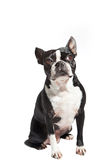 Boston Terrier looking to the side Royalty Free Stock Image