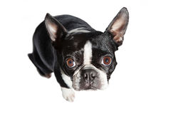 Boston Terrier looking up at the camera Stock Photo
