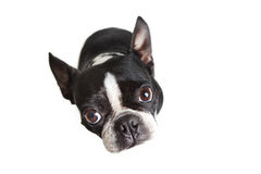 Boston Terrier looking up at camera Stock Images