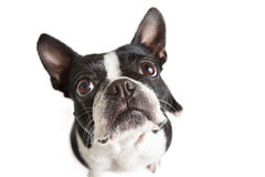 Boston Terrier looking up at camera Royalty Free Stock Photography
