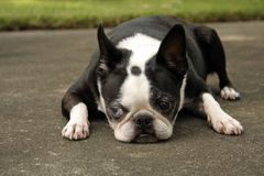 Boston Terrier Lying Down Stock Image