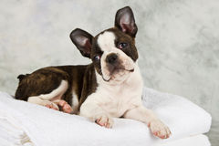 Boston terrier lying on white towels Stock Images