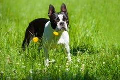 Boston Terrier Stock Images