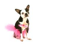 Boston-Terrier mit Ballettröckchen Lizenzfreie Stockfotografie