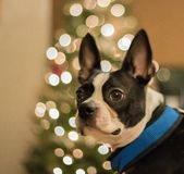 Boston Terrier na frente da árvore de Natal fotos de stock