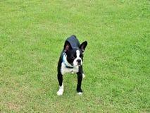 Boston Terrier na zielonej trawie Zdjęcia Royalty Free