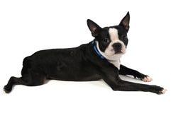 Boston-Terrier-Niederlegung Lizenzfreie Stockfotografie