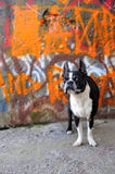 Boston Terrier and Orange Graffiti 3. A Boston Terrier sits in front of a graffiti wall on a street corner Royalty Free Stock Photography