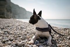 Boston Terrier på stranden Royaltyfri Bild