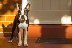 Boston terrier. In the park royalty free stock photography