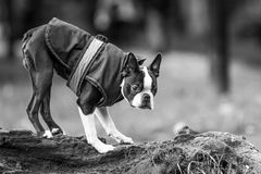 Boston terrier in park Royalty Free Stock Photos