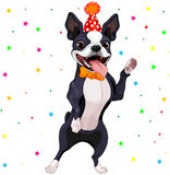 Boston Terrier Party Royalty Free Stock Image