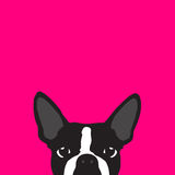 Boston Terrier with pink background Stock Photography