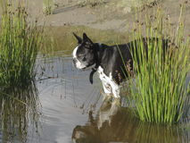 Boston terrier in pond Stock Photos