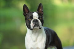 Boston Terrier Royalty Free Stock Photo