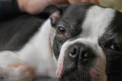 Boston Terrier Portrait stock image