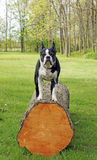 Boston Terrier poses Royalty Free Stock Photography