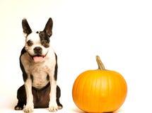 Boston terrier & pumpkin Stock Image